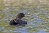 Common Loon (Gavia immer)
