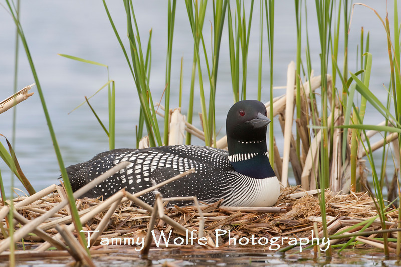 Common Loon (Gavia immer) on nest