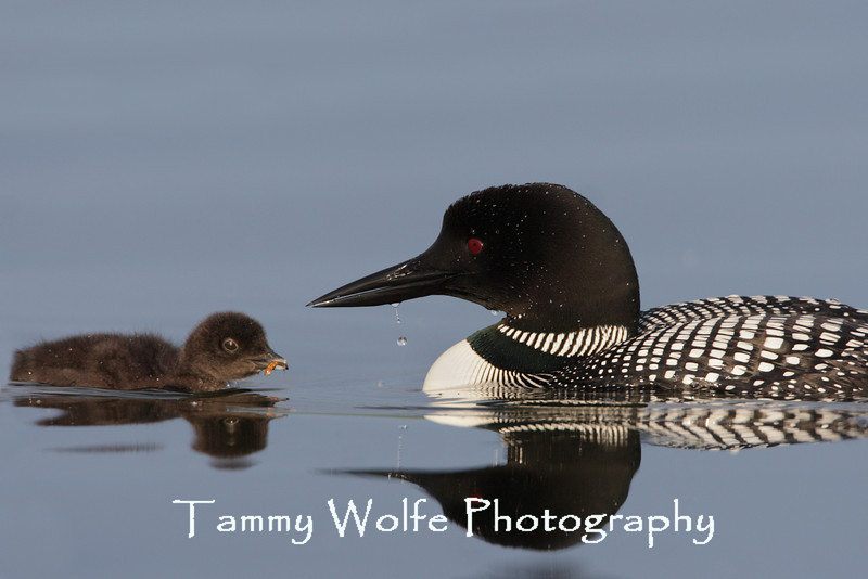 Common Loon (Gavia immer), Adult feeding chick