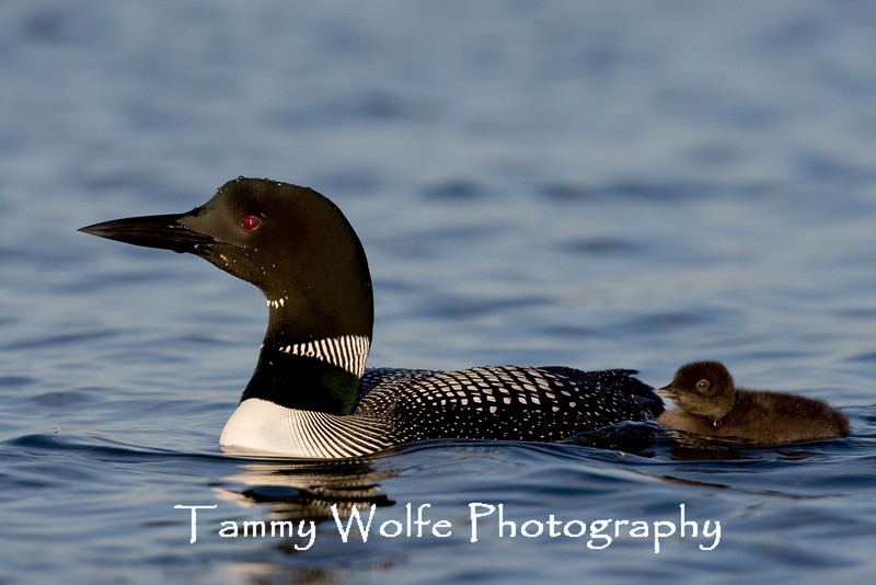 Common Loon (Gavia immer), Adult with Chick Following