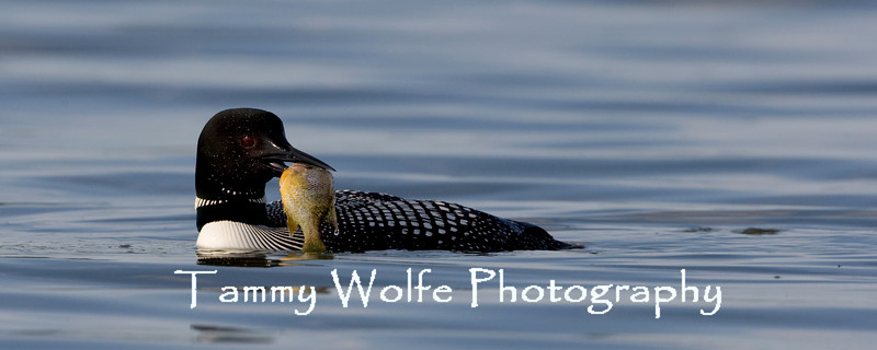 Common Loon (Gavia immer) with a Big Fish