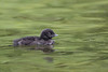 Common Loon (Gavia immer) Chick