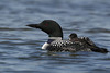 Common Loon (Gavia immer)
