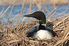 Nesting Common Loon (Gavia immer)