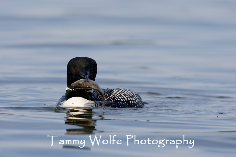 Common Loon (Gavia immer) with Catch