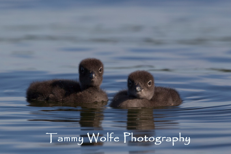 Common Loon (Gavia immer) Chicks