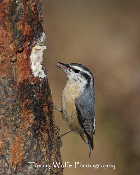 Red-Breasted Nuthatch (Photo #2174)