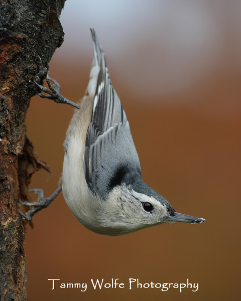 White-Breasted Nuthatch (Photo #1549)