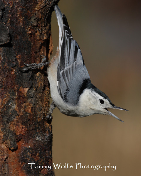 White-Breasted Nuthatch (Photo #2579)