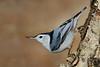 White-Breasted Nuthatch (Sitta carolinensis)