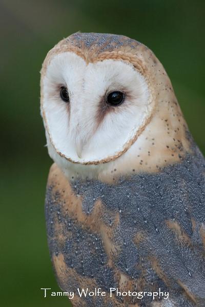 Barn Owl (Tyto alba)*