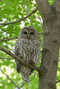 Barred Owl (Strix varia)