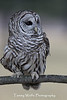 Barred Owl*