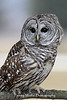 Barred Owl Portrait*