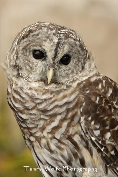 Barred Owl Portrait*