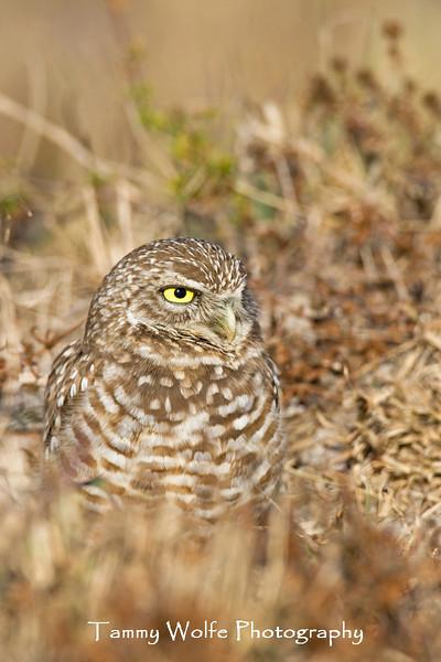 Burrowing Owl (#5166)