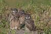 Boreal Owl (Aegolius funereus)