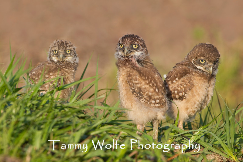 Three Burrowing Owl (Athene cunicularia) Owlets