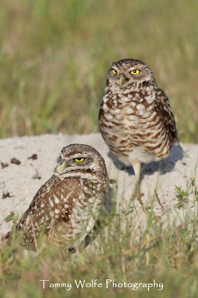 Pair of Burrowing Owl (Athene cunicularia)