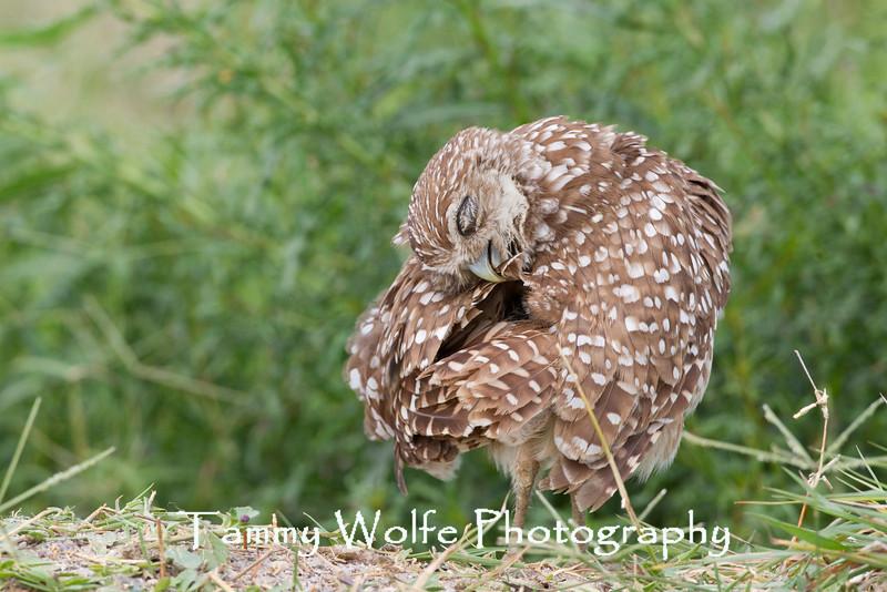 Preening Burrowing Owl (Athene cunicularia)