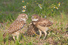 Burrowing Owl (Athene cunicularia), Adult with Owlet