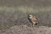 Burrowing Owl (Athene cunicularia) standing on a prairie dog mound, Badlands National Park