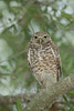 Burrowing Owl (Athene cunicularia) perched in a tree