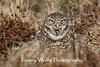 Burrowing Owl at the Burrow (#5153)