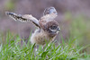 Burrowing Owl (Athene cunicularia) Owlet
