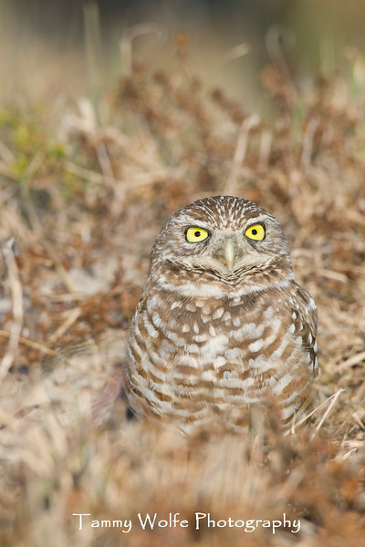 Burrowing Owl at the Burrow (#5261)