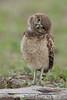 Burrowing Owl (Athene cunicularia)