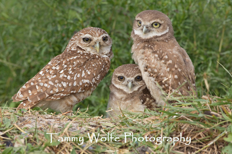 Burrowing Owl (Athene cunicularia), Adult with Two Immatures
