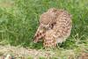 Burrowing Owl (Athene cunicularia) Preening