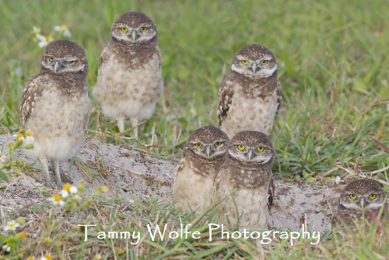 Six Burrowing Owl (Athene cunicularia) Owlets