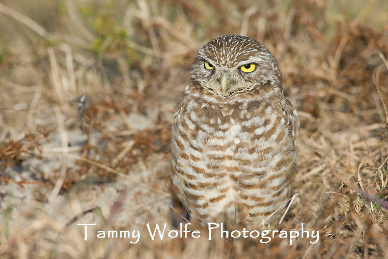 Burrowing Owl (#5292)