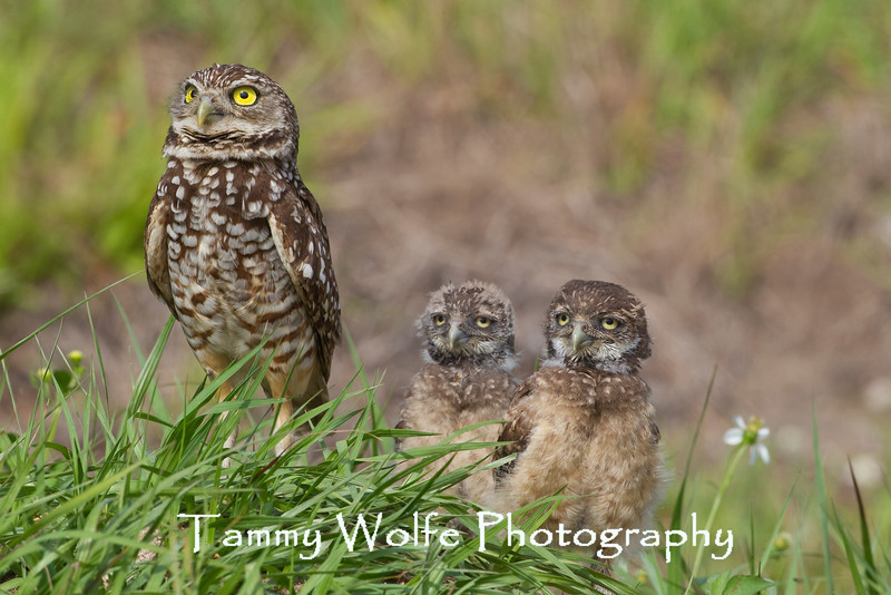 Burrowing Owl (Athene cunicularia), Adult with two Owlets