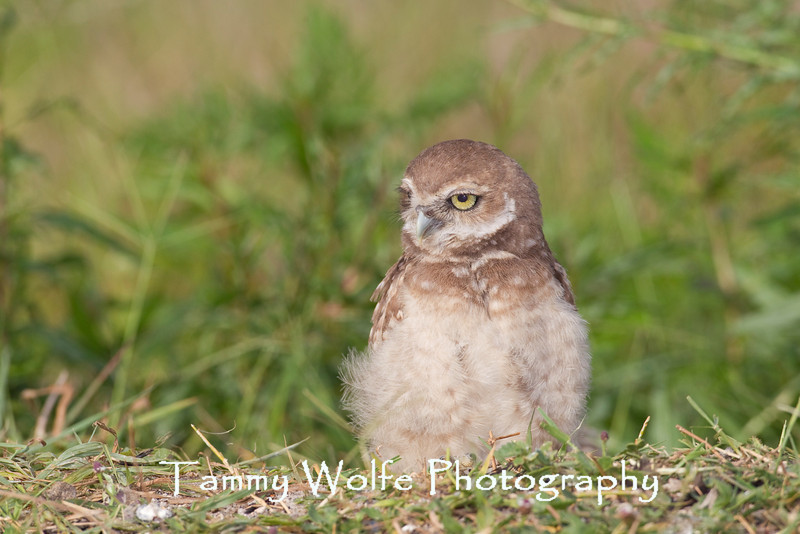 Burrowing Owl (Athene cunicularia) Owlet