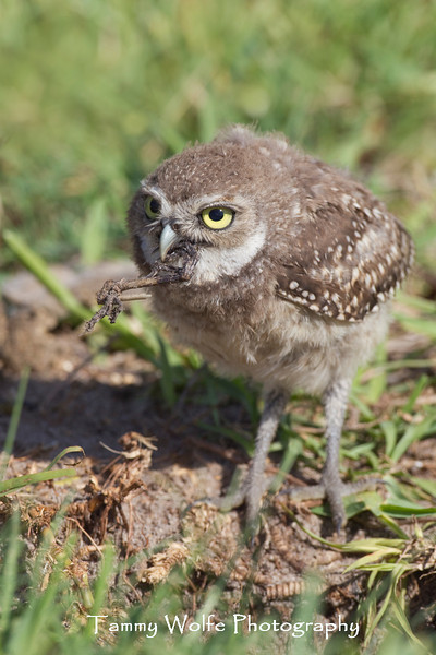 Baby Burrowing Owl (Athene cunicularia)