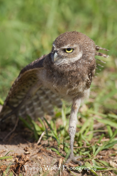 Baby Burrowing Owl (Athene cunicularia)