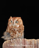Eastern Screech Owl*