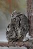 Eastern Screech Owl (Megascops asio)*