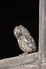 Eastern Screech Owl Perched in a Barn Window*