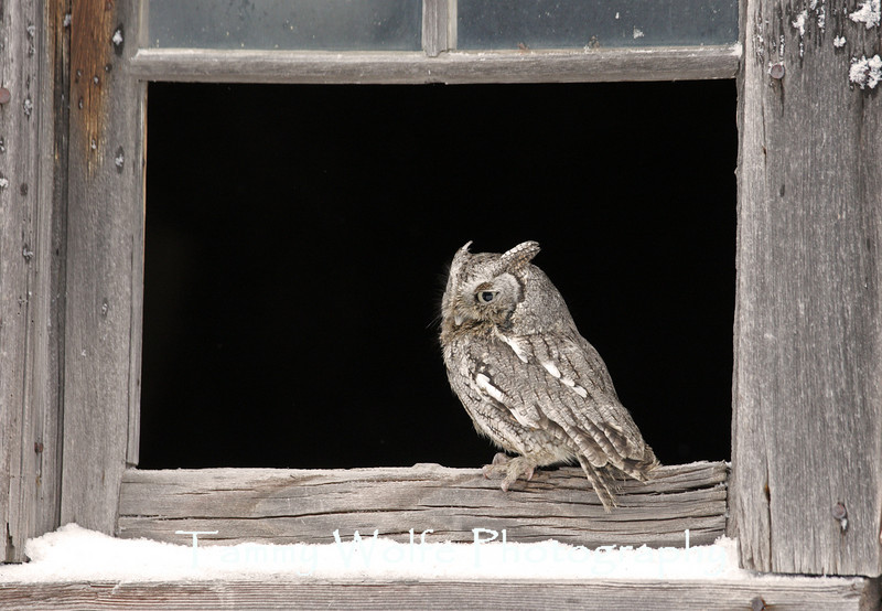 Eastern Screech Owl perched on a old windowsill*