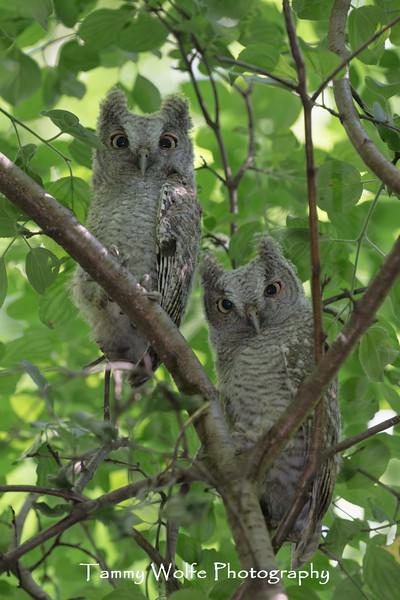 Eastern Screech Owl (Megascops asio)