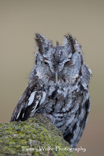Winking Eastern Screech Owl*