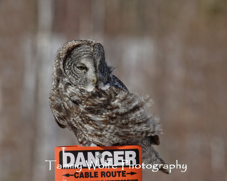 """""""Bad Feather Day"""" <br /> Great Gray Owl in northern Minnesota perched on a """"Danger"""" sign"""