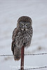 """Hunter's Gaze"" Great Gray Owl in northern Minnesota"