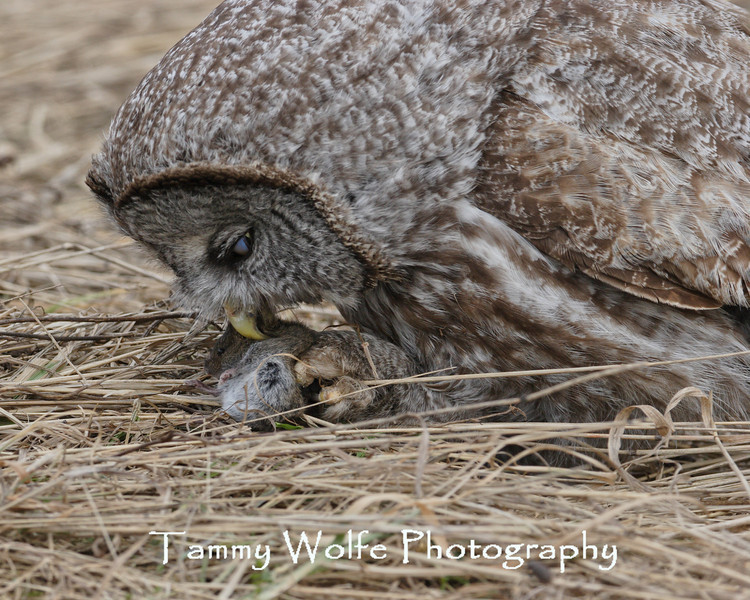 Great Gray Owl with Prey in northern Minnesota