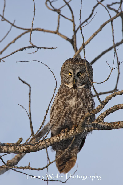 Great Gray Owl and a lot of sticks (Posted this photo because it's the first GGO I've seen since the 04-05 irruption and because this owl has a strange left pupil.)