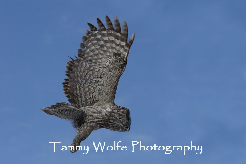Great Gray Owl in flight northern Minnesota